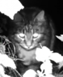Young longhaired tabby cat in black & white nightvision