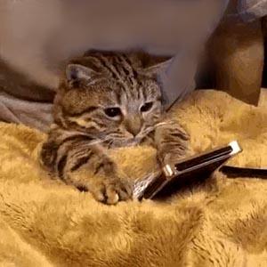 Kitten on phone